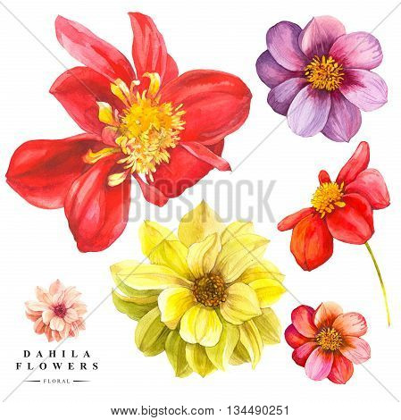 Watercolor collection of red and yellow dahlia flowers. Handmade painting on a white background.