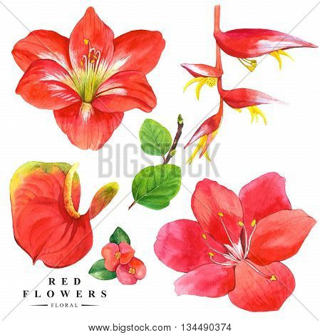 Watercolor collection of red flowers, anthurium, amaryllis and strelitzia. Handmade painting on a white background. Red set.