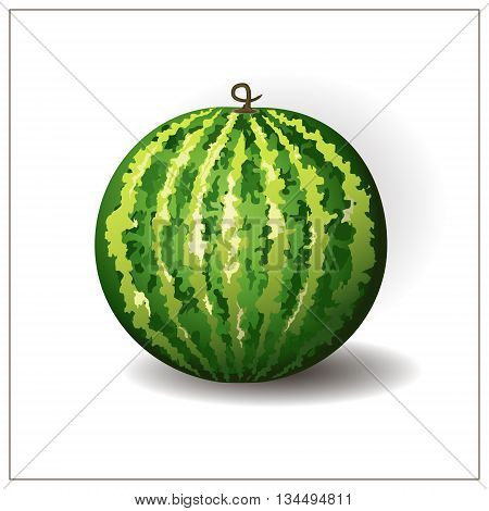 Whole round watermelon on the white background. Isolated tropical fruit illustration. Green watermelon. Vector. Watermelon berry.