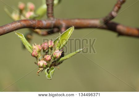 Still Closed Blossoms Of An Apple Tree (malus Domestica)