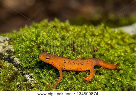 A young Red Eft crawling over a mossy stone.