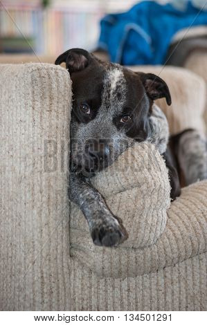 Mixed breed pit bull dog looking comfortable on the couch.