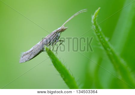 Diamond-back moth (Plutella xylostella). Migratory insect in the family Plutellidae known as a pest of vegetable crops including cabbage