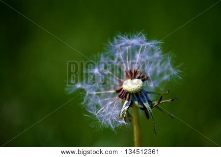 Dry dandelion blowing in the wind, green background