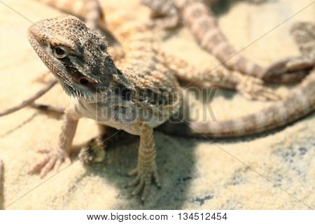 Agama Lizard In The Sand