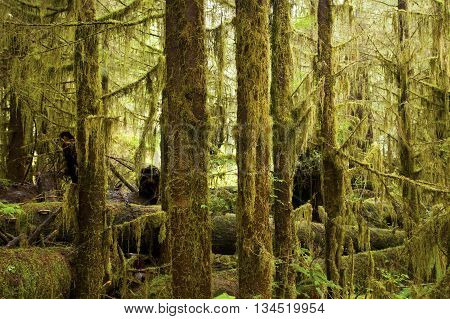 a picture of an exterior Pacific Northwest grove of mossy hemlock trees