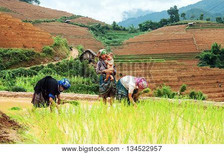 YEN BAI, VIETNAM, June 23, 2016 Hmong family, high mountains, Mu Cang Chai, Yen Bai Province, together rice cultivation