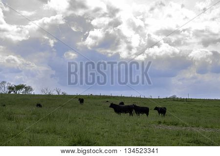 Background of black Angus cattle in a green pasture with blue sky and clouds