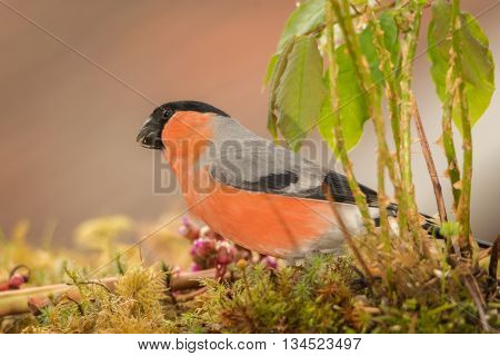 male bullfinch standing on moss behind ferns and leaves