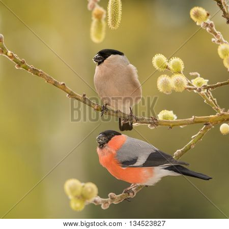 profile of male and female bullfinch standing on branch with flowers of willow