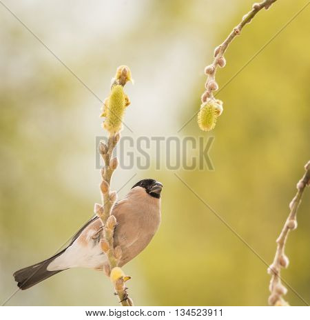 profile of female bullfinch standing on branch with flowers of willow