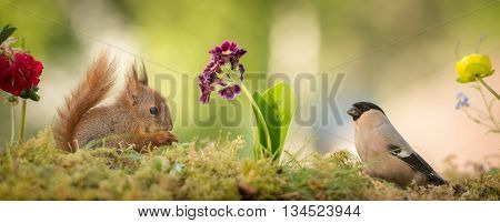 young red squirrel with a female bullfinch with flowers in the middle
