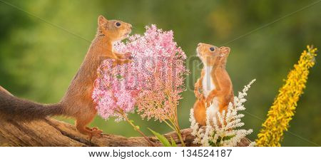 red squirrels profile standing with lila white and yellow flowers looking up