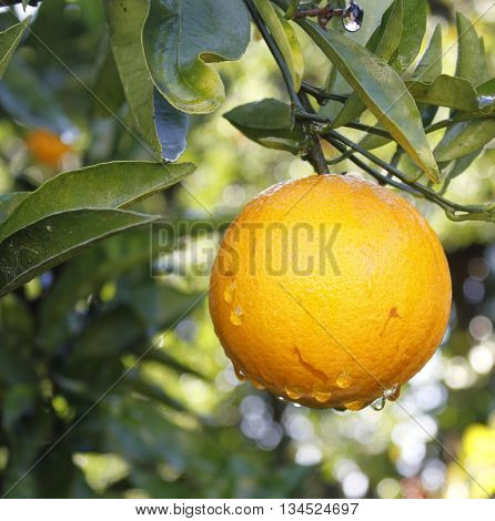 Ripe navel orange about to be picked