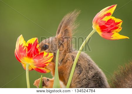 close up of red squirrel with nose in tulip