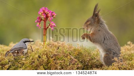 close up of a red squirrel and a nuthatch with flower