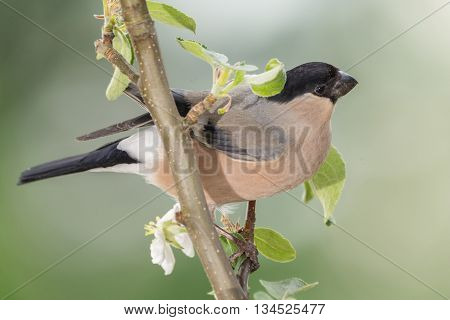 profile of female bullfinch standing on branch with apple blossoms