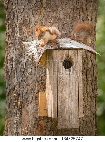two young red squirrels standing on a birdhouse