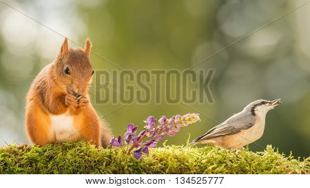 close up of a red squirrel and a nuthatch with lupine