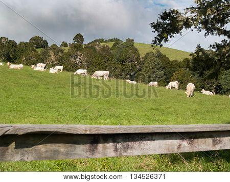 White Belgian Blue breed beef cattle grazing