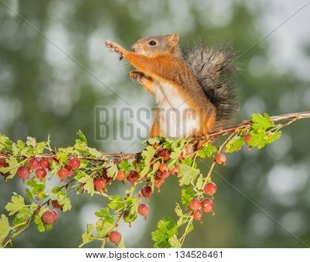 red squirrel standing on branch gooseberries  in sun light