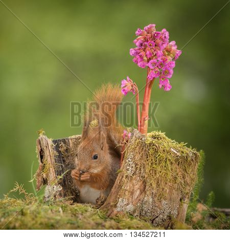 kitten red squirrel sitting in tree trunk with lila flower