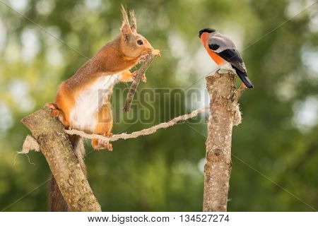 red squirrel in the air on rope and branches doing trapeze act with male bullfinch