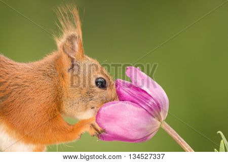 red squirrel with nose in purple tulip