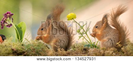 young red squirrels watching a male bullfinch with flowers in the middle