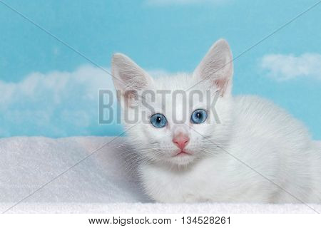 six week old white kitten with beautiful blue eyes laying on a purple blanket with blue background with clouds.