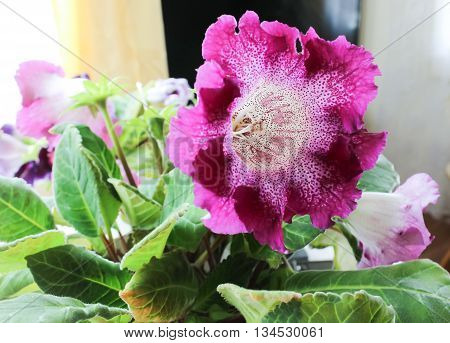 Beautiful gloxinia with huge bright claret flower