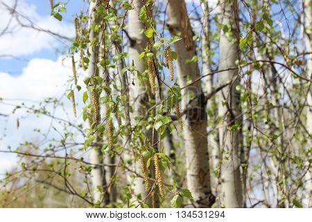 Ear rings on birch branches in the spring