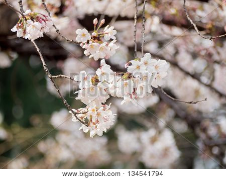 Branch Of Cherry Blossom On Tree In Japan