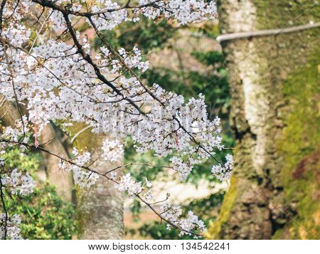 Cherry Blossom Tree In Japan