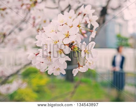 Cherry Blossom On Tree In Japan