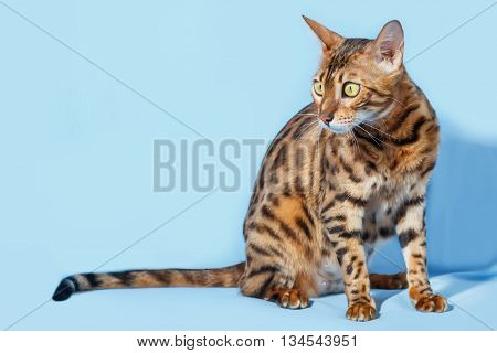 Single bengal cat on neutral blue background