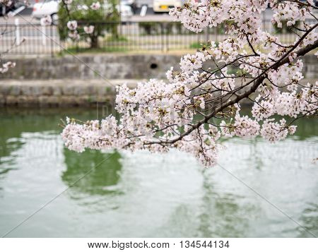 Cherry Blossom Branches Cover On The Canal