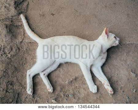 Thai White Cat Lie Down On The Ground