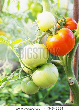 fresh Tomatoes in the garden , Plant Tomatoes selective focus