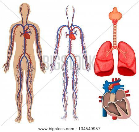Circulatory system in human body illustration