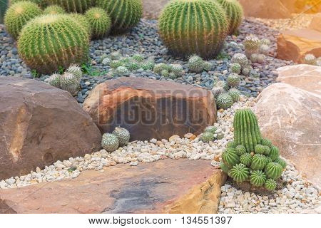 beautiful big cactus in the rock garden.