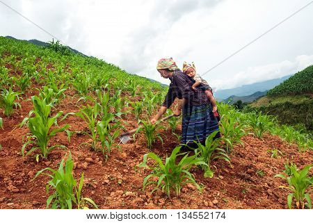 MOC CHAU, VIETNAM, January 2, 2016 the woman, Hmong, tiny babies strapped on their backs, maize, alpine