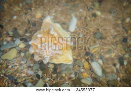 Conch shell underwater shot in ocean water