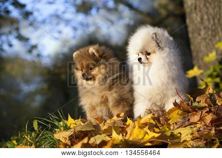 red fluffy Pomeranian on a swing in the autumn park