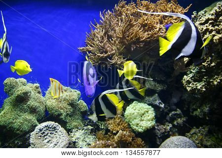 Blue Tangs In Water