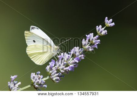 White butterfly (Pieris brassicae) in natural environment