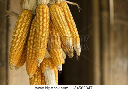 Yellow dried corn on cobs hung on the beam
