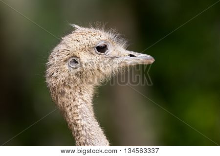 Side view of an ostrich with natural background