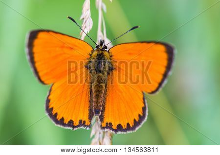 Orange scarce copper butterfly (Lycaena virgaureae) on green and natural background