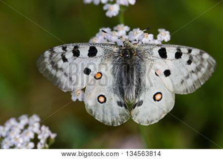 Mountain apollo butterfly (Parnassius apollo) on white bloom